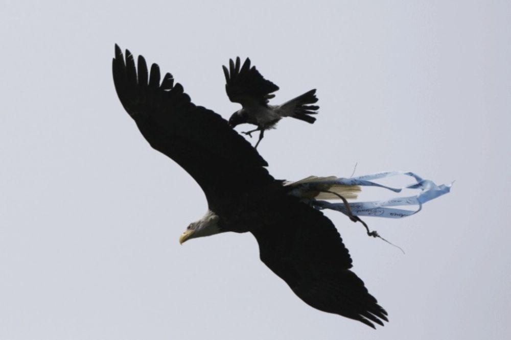 VRANA NAPALA ORLA: Ptica zloslutnica za lošu sreću Lacija