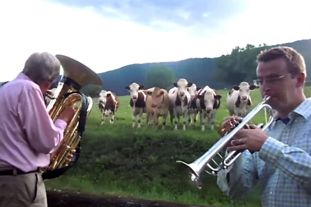(VIDEO) I KRAVE VOLE DŽEZ: Bend svirao za stado muzara!