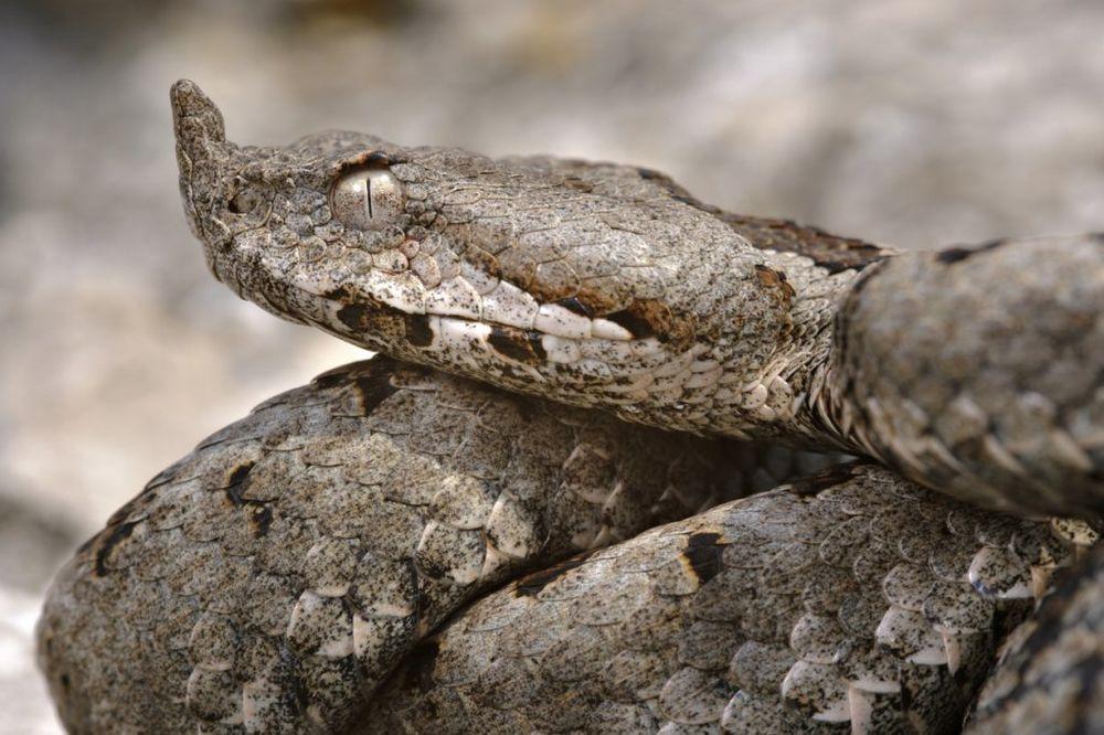 PAŽNJA, VAŽNO: U Srbiji je zabranjeno ubijati zmije, kazna za poskoka 14.400 dinara