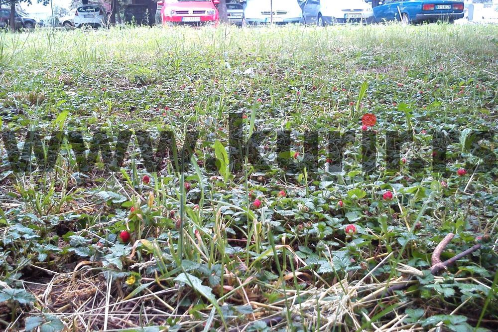 ČUDESNO: Rodile jagode na parkingu u Bloku 70