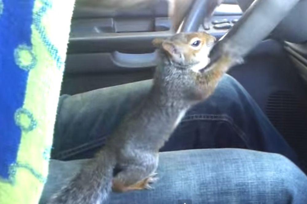 (VIDEO) Šta se dogodi kad veverica sedne da vozi auto? I ne, ovo nije vic