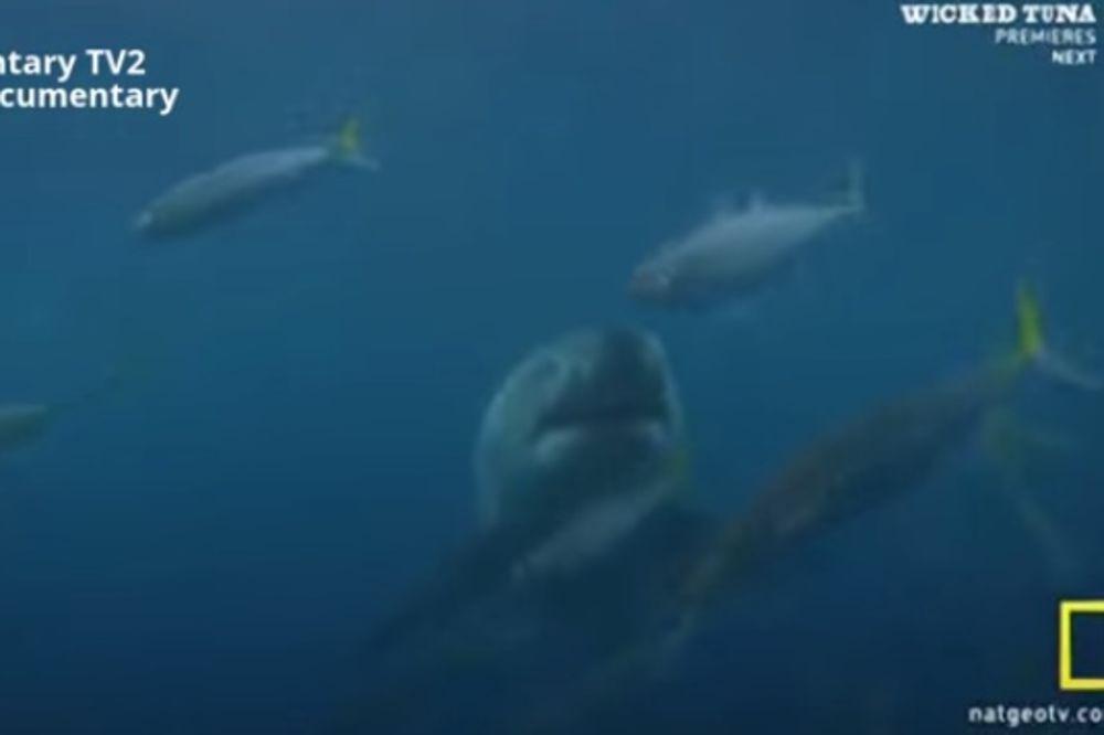 (VIDEO) BORBA TITANA U OKEANU: Pogledajte kako kit ubica jede veliku belu ajkulu!