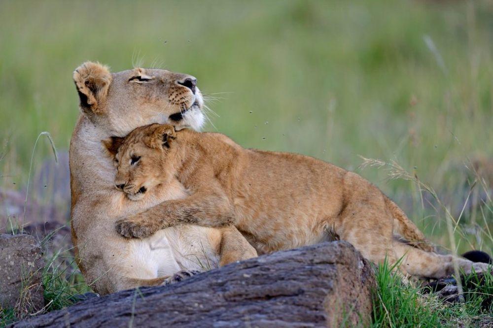 DA LI VAM JE SRCE SPREMNO: 20 fenomenalnih fotografija roditeljstva među životinjama