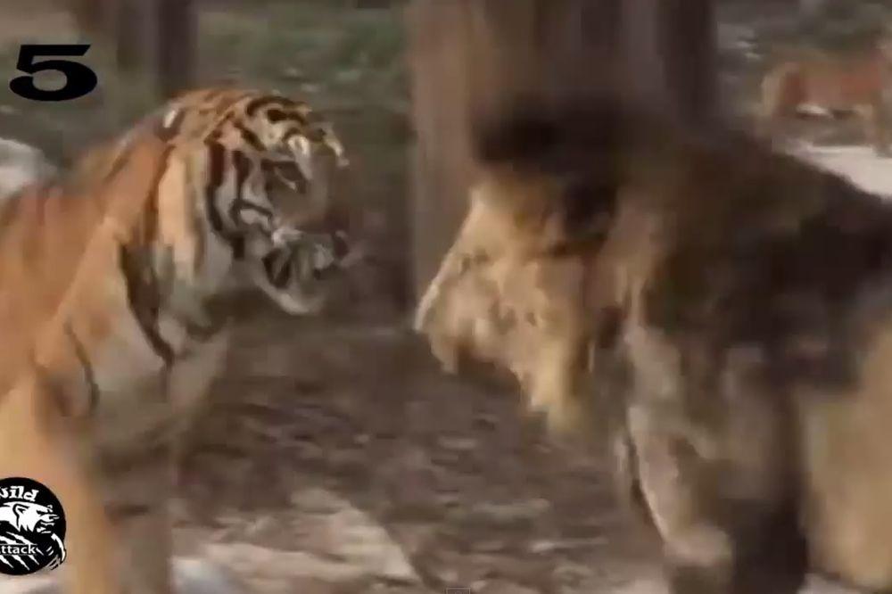 VEČITI DERBI ROĐENIH UBICA : Pogledajte najžešče obračune tigrova i lavova! (VIDEO)
