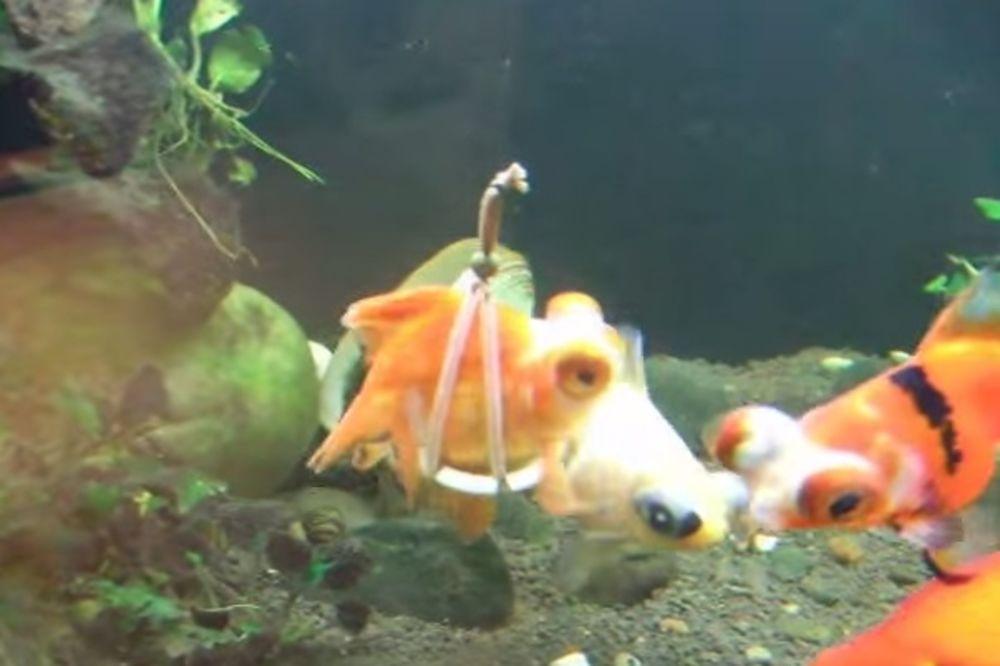 (VIDEO) Zlatna ribica se razbolela, ali vlasnik je smislio genijalan način da joj pomogne