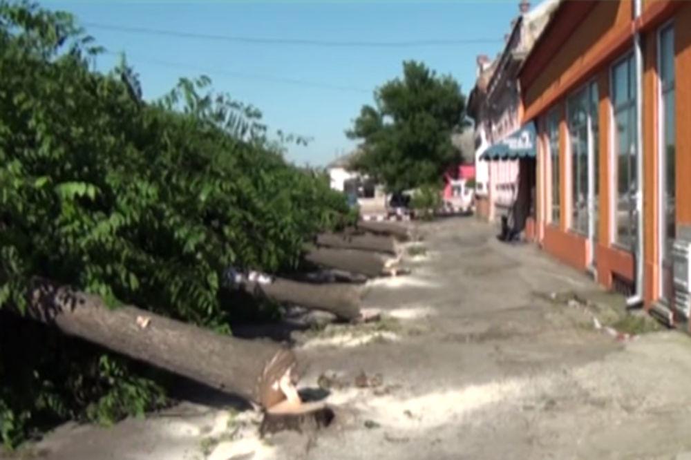 (UZNEMIRUJUĆI VIDEO) JEZIVI ZVUK TESTERE: Isekli jedini drvored u Srbobranu, ptići ispali iz gnezda