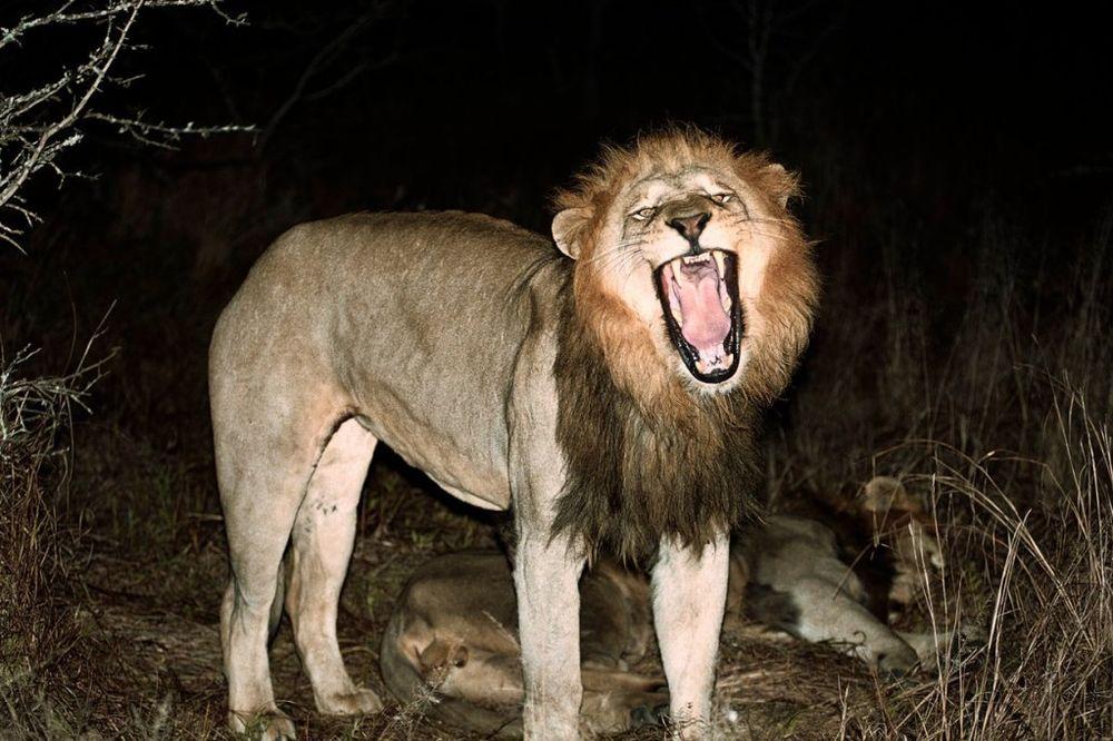 AMERIKANAC IZAZVAO HAOS: Prete mu smrću jer je ubio lava!