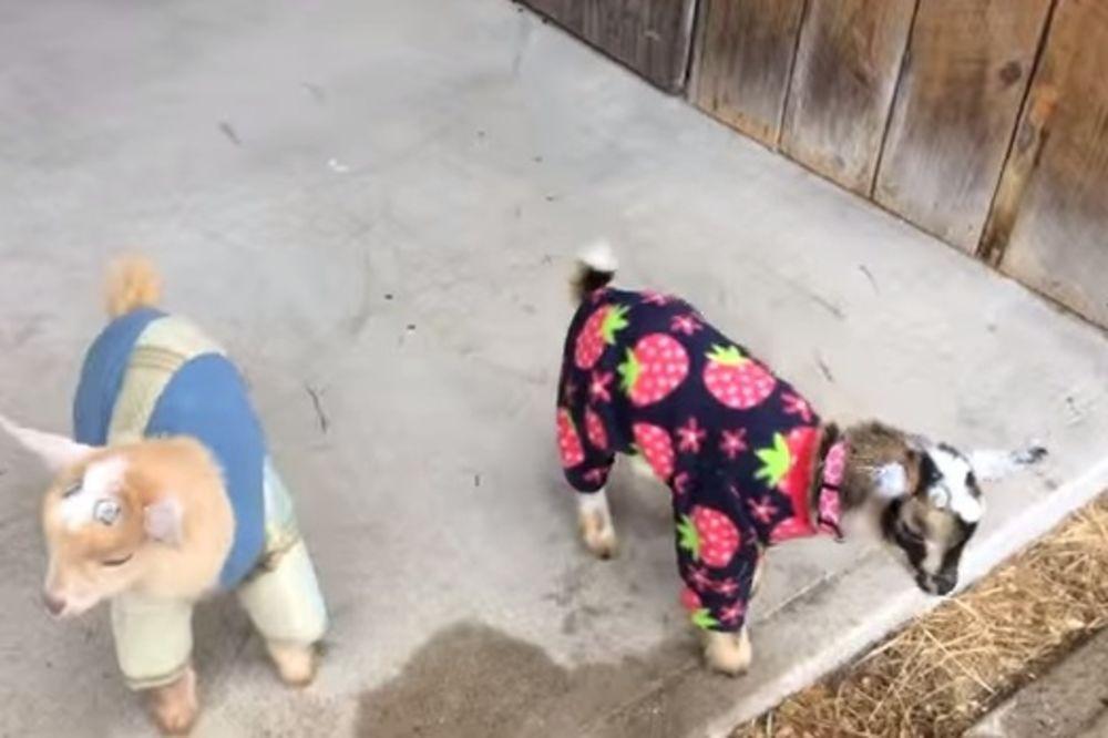 (VIDEO) IMA LI NEŠTO SLAĐE OD OVOGA: Koze u pidžamama će vas oduševiti