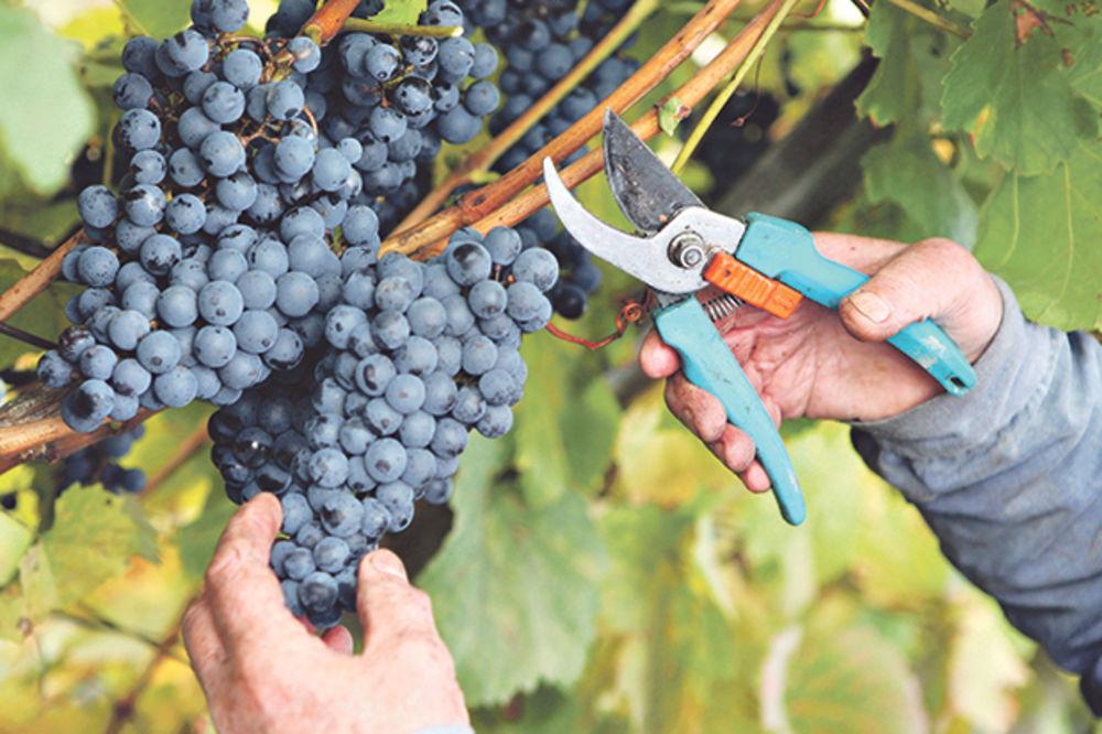 UŽIVAJU: Osuđenici beru grožđe i zarade 1.500 evra mesečno