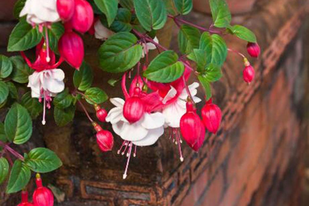 KAKO DA NEGUJETE FUKSIJE: Omiljena cvetnica za vaš vrt