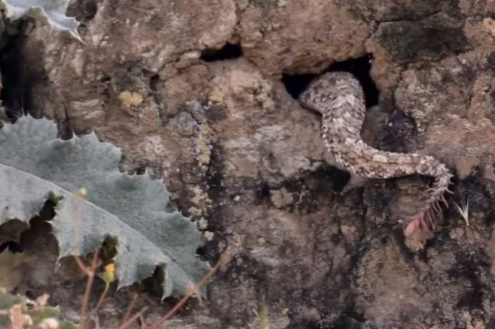 (VIDEO) KAKVA NEMAN: Telo zmije, rep pauka, ovo je najstrašniji poskok ikada