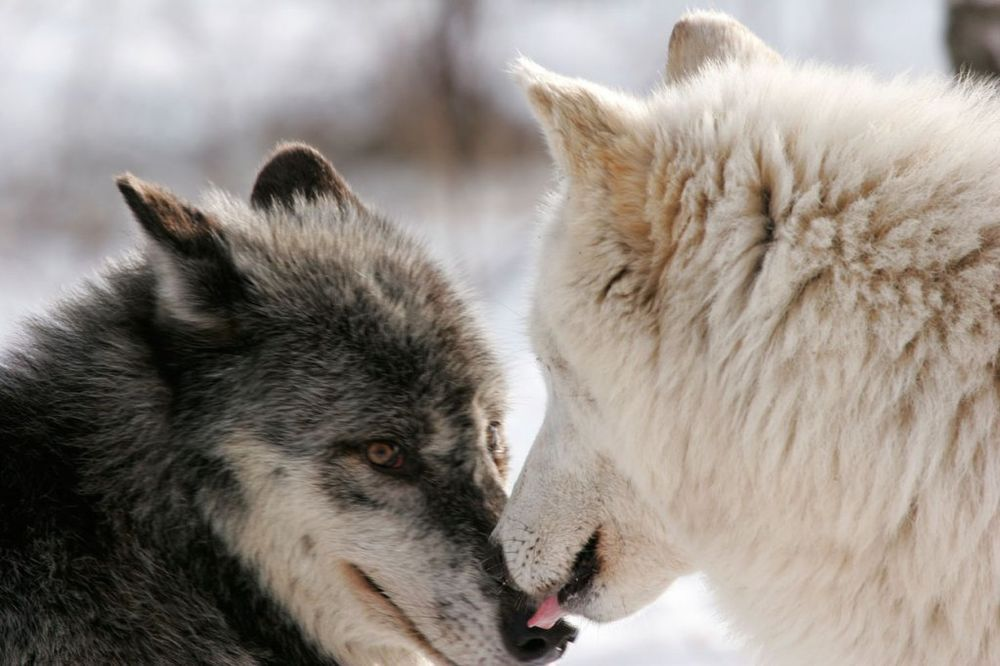 KOLIKO SI KRVOLOČAN: Da li si crni ili beli vuk?