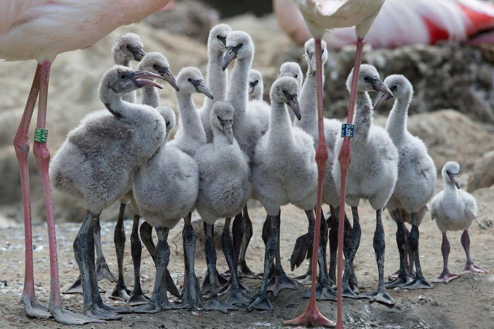 (FOTO) ATRAKCIJA U ZOO-VRTU: Sad su ružni ptići, a za tri godine ...