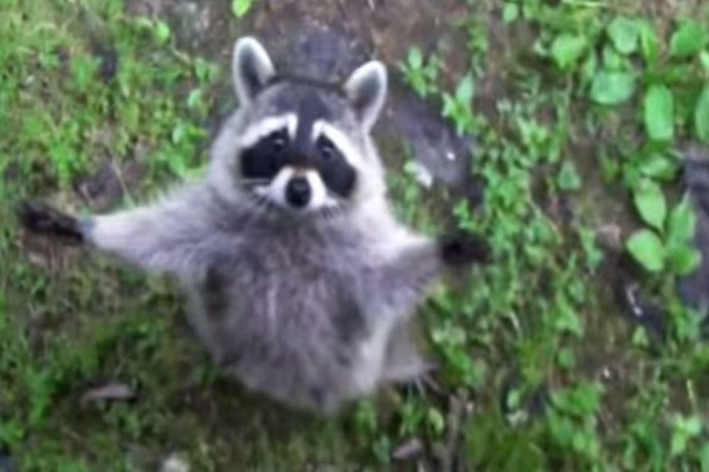(FOTO, VIDEO) ORASPOLOŽIĆE VAS: Dokazi da su rakuni najsmešnije životinje