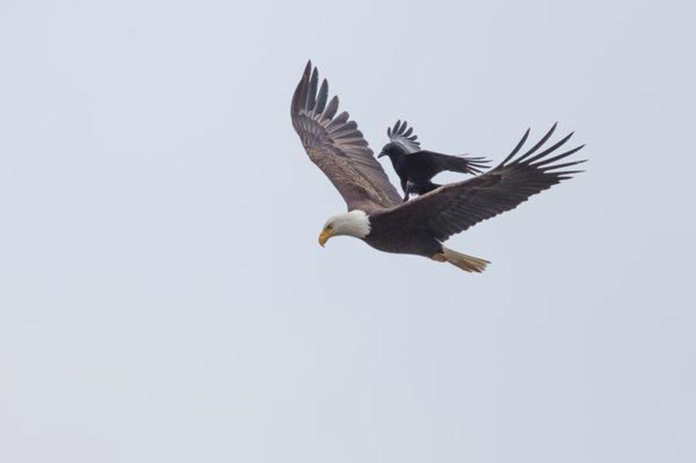 (FOTO) FANTASTIČNA SCENA NA NEBU: Kad vrana zajaše orla!