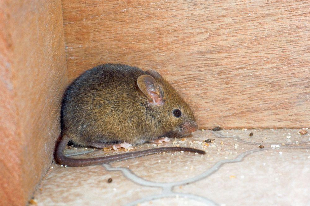 ČISTE GRAD: Stanovnici Džakarte će dobijati 1,5 dolara za svakog uhvaćenog pacova!