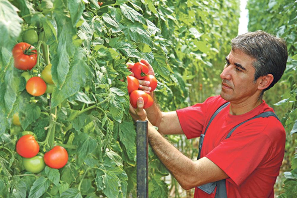 IMA POSLA: Sezonci zarađuju do 90.000 dinara