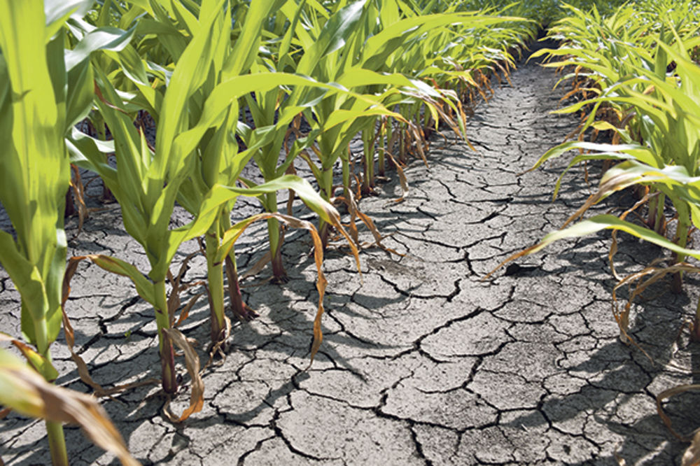 SLEDI NAM JOŠ JEDNO POVEĆANJE CENA: Poskupeće pasulj, ulje i šećer zbog ekstremne žege!
