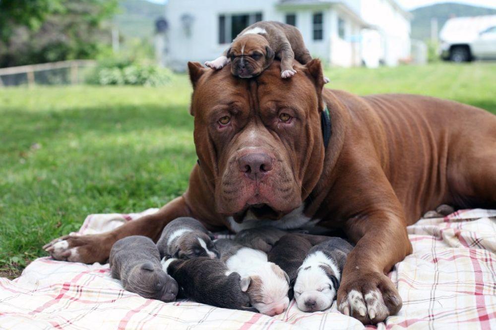 VREDNI KOLIKO SU SLATKI: Najveći pitbul na svetu postao tata najskupljih štenaca!