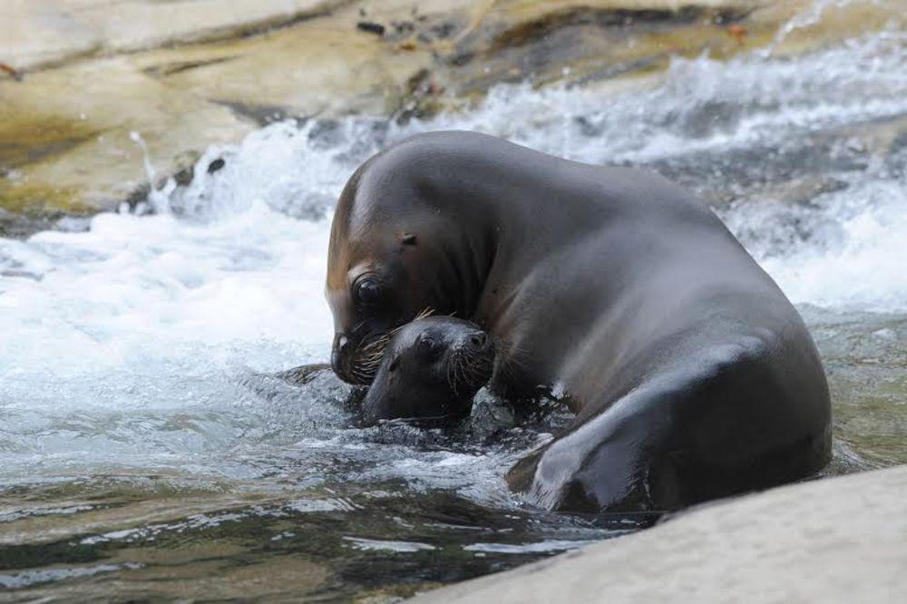 (FOTO) NEPLANIRANA PRINOVA: Neočekivano bečki zoo vrt dobio malu morsku lavicu!