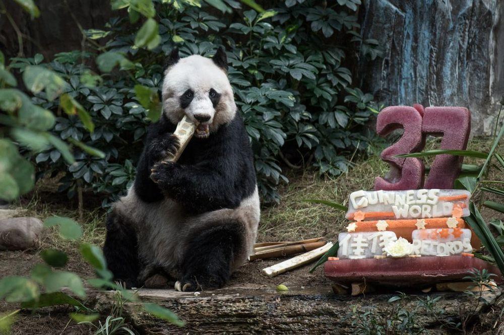 (FOTO I VIDEO) SLAVLJE UZ LEDENU TORTU: Najstarija panda na svetu napunila 37 godina