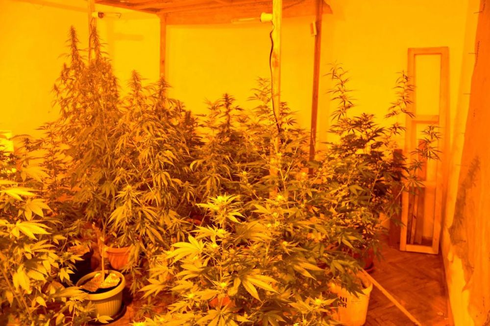 U VIKENDICI NAPRAVILI LABORATORIJU: Vrščani gajili marihuanu vrednu milion dinara