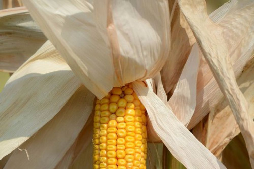 Suša desetkovala rod subotičkog kukuruza
