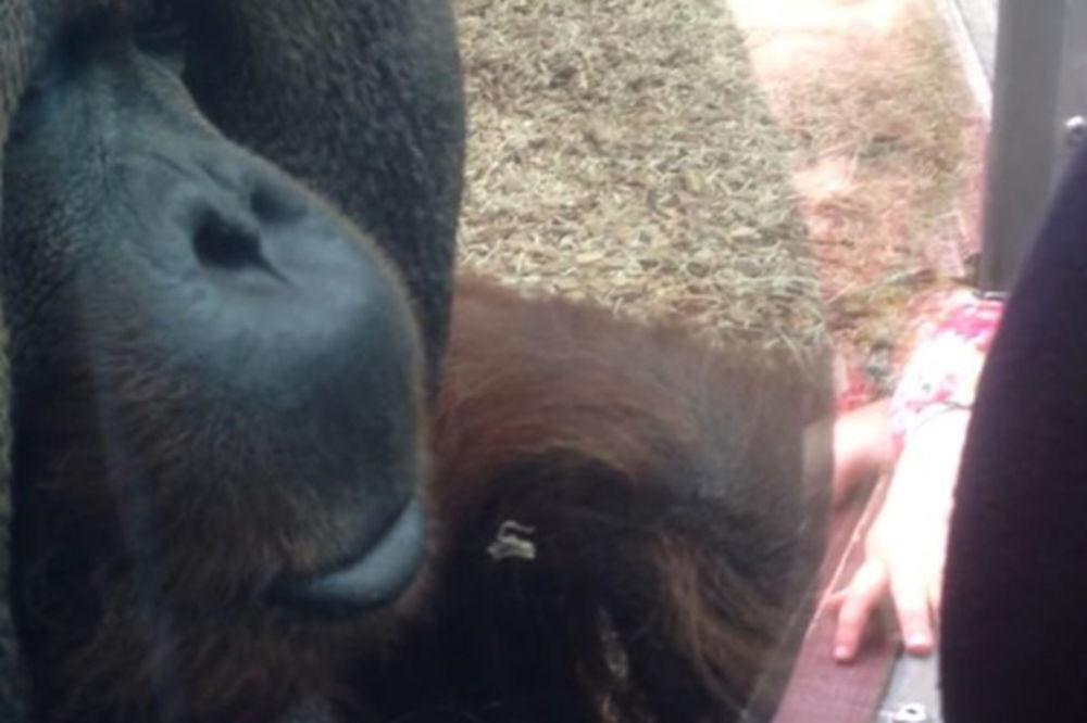 TOPLI POZDRAV: Orangutan hteo da poljubi stomak trudnici (VIDEO)