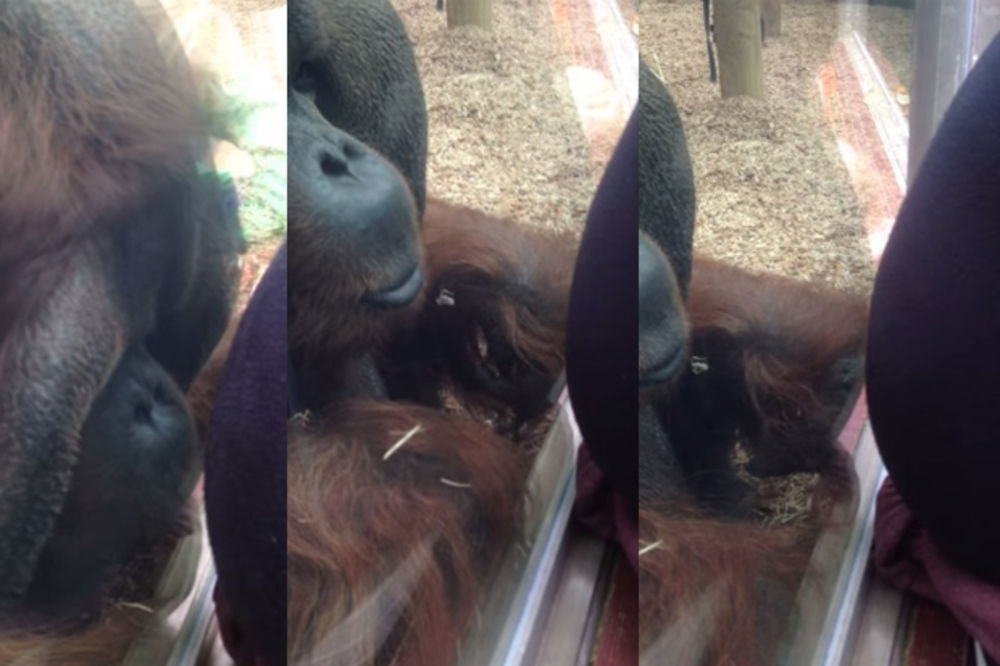 (VIDEO) Trudnica je prišla kavezu sa orangutanima! Ono što je uradio mužjak je fenomenalno