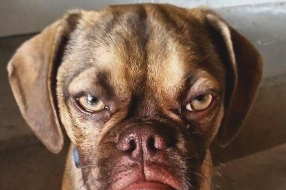 NAJVEĆI BAKSUZ NA SVETU: Ovo štene koje mrzi ceo svet će vas nasmejati do suza!