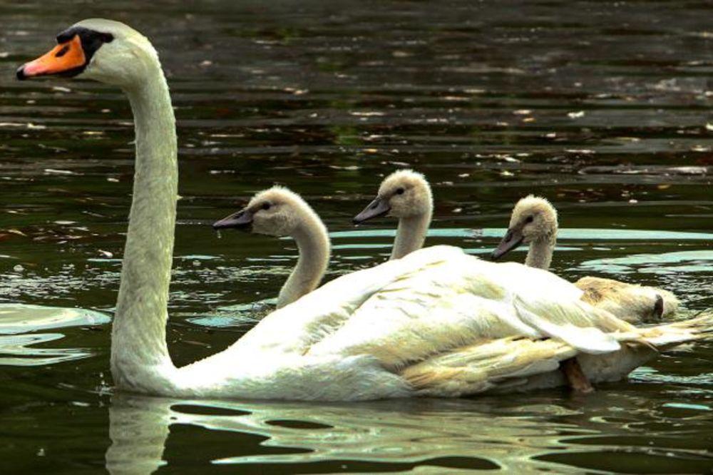 (FOTO) ATRAKCIJA U NOVOM SADU: Isa i Bisa sa labudićima vraćeni u Dunavski park