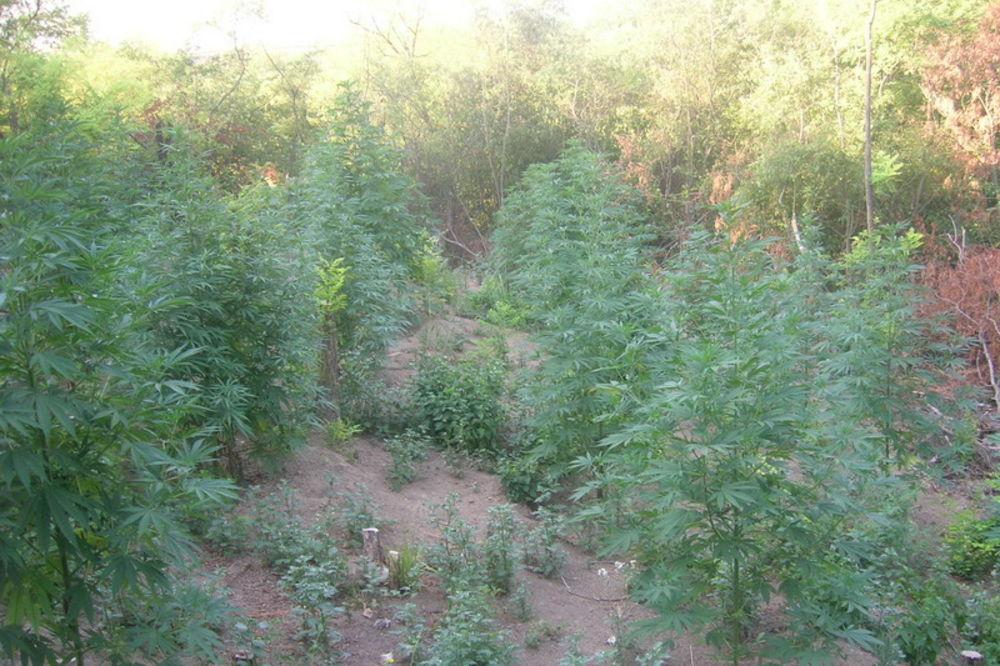STRADAO U OBRAČUNU S POLICIJOM: Diler imao dve parcele sa 200 stabljika konoplje