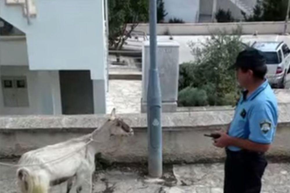(VIDEO, FOTO) POGLEDAJTE OVAJ CIRKUS: Hrvatska policija dva sata hapsila kozu!