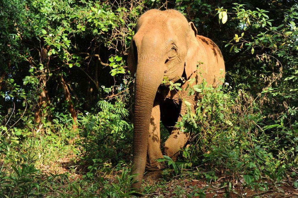 POMAHNITAO: Slon zgazio čuvara i pobegao sa turistima na leđima