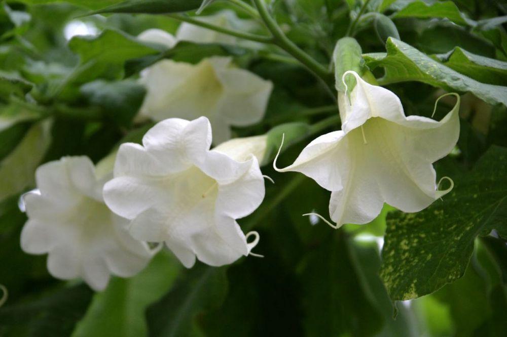 Avolji dah pretvara rtve u zombije i parali e ih duvali for Nomi di fiori bianchi profumati