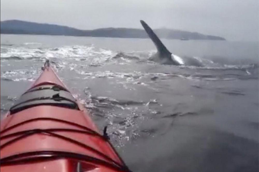 (VIDEO) ZASTRAŠUJUĆE: Devojke vrište u kajaku, kitovi ubice oko njih!