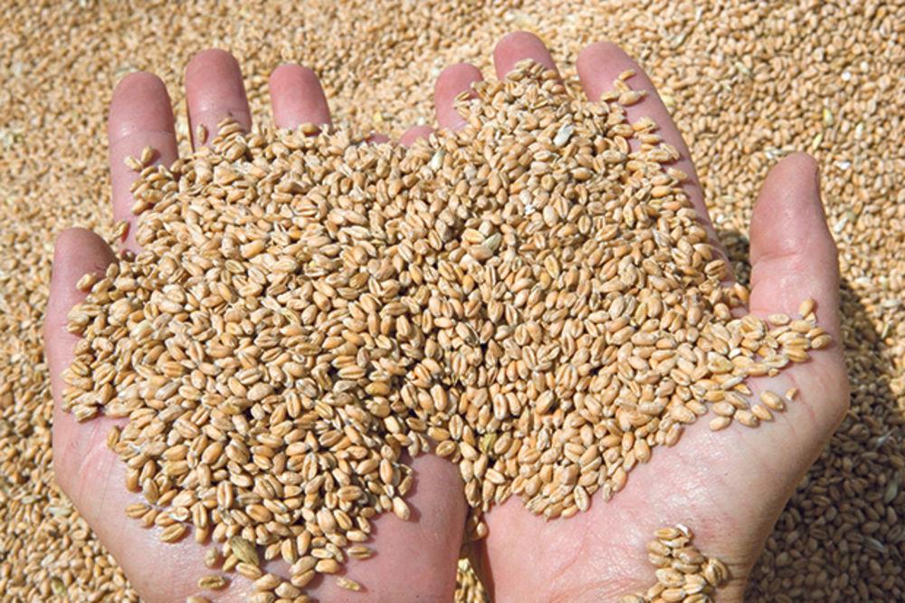 SOLIDAN PRINOS ALI SLABA VAJDA: Ove godine proizvodnja pšenice za mnoge neisplativa