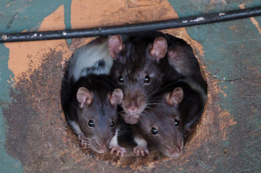 FUJ: Kraljevački mališani u igraonici našli mrtvog pacova!
