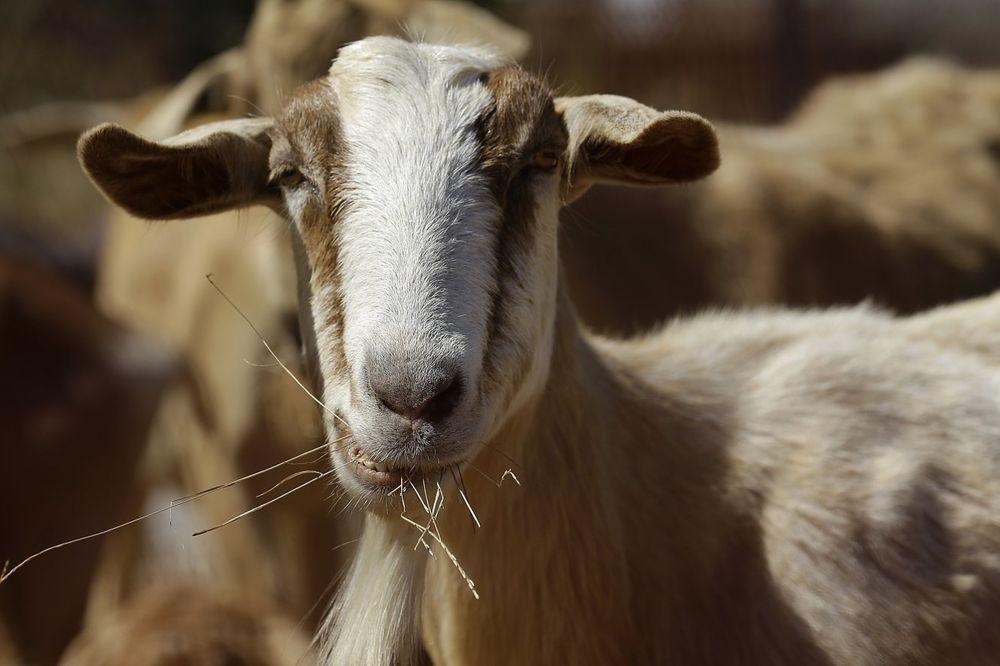 PRIČA IZ SUDNICE: Deceniju se sudio zbog koze