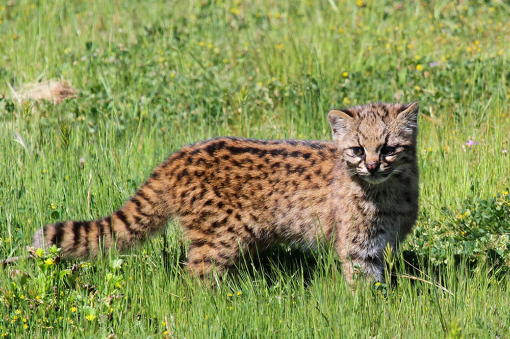 (FOTO) VEROVATNO NISTE NI ZNALI DA POSTOJE: 21 vrsta divljih mačaka, broj 5 ć...