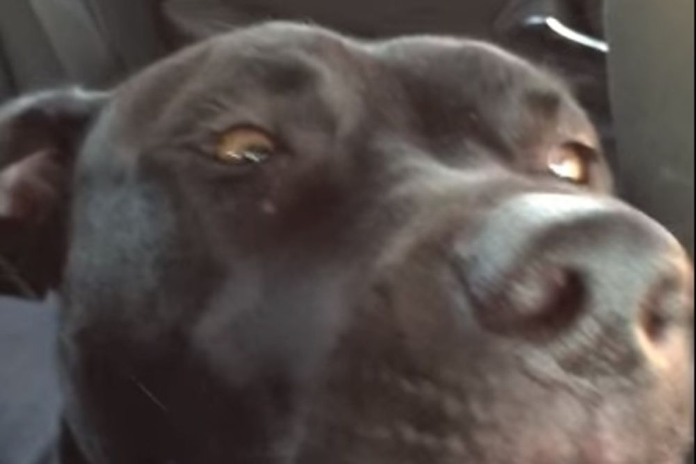 (VIDEO) OBOŽAVA DA PEVA: Ovaj pas svoje emocije iskazuje kroz pesme Adel