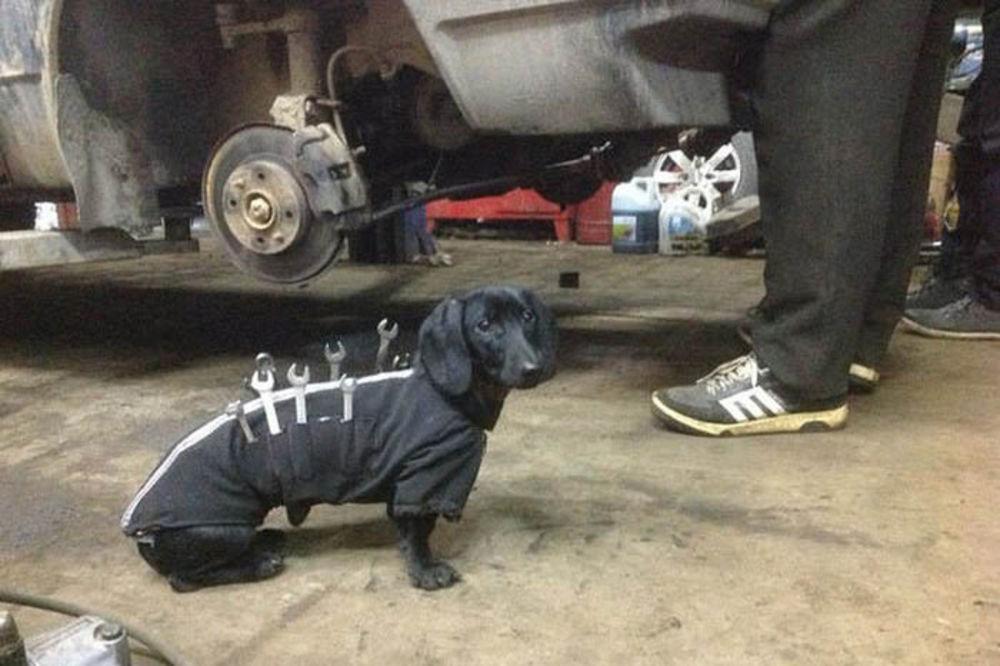 (FOTO) NAJMANJI ŠEGRT NA SVETU: Ovaj jazavičar pomaže majstoru u popravci automobila