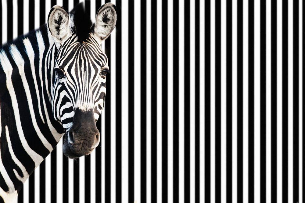 (UZNEMIRUJUĆE) ŠOK U ZOO VRTU: Bacili glavu zebre tigrovima, deca sve prestrašeno gledala
