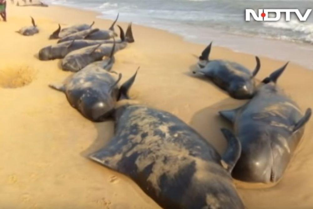 TUŽAN PRIZOR U ČILEU: 70 kitova se nasukalo na obali, niko ne zna koji je razlog