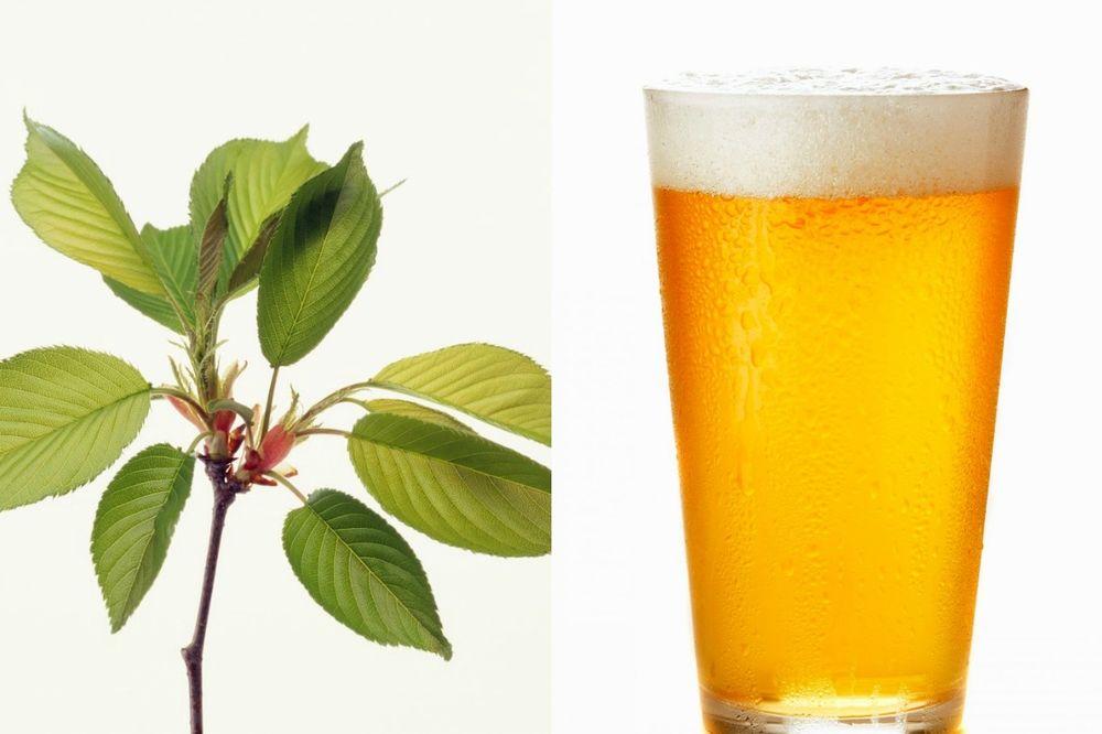 NEVEROVATAN PRIRODAN RECEPT: Skuvajte listove višnje sa pivom i dejstvo napitka će vas oduševiti