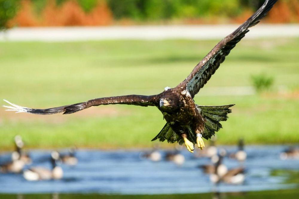 LJUDI, ZAŠTO?! Pronađeno šest otrovanih orlova kod Kanjiže!