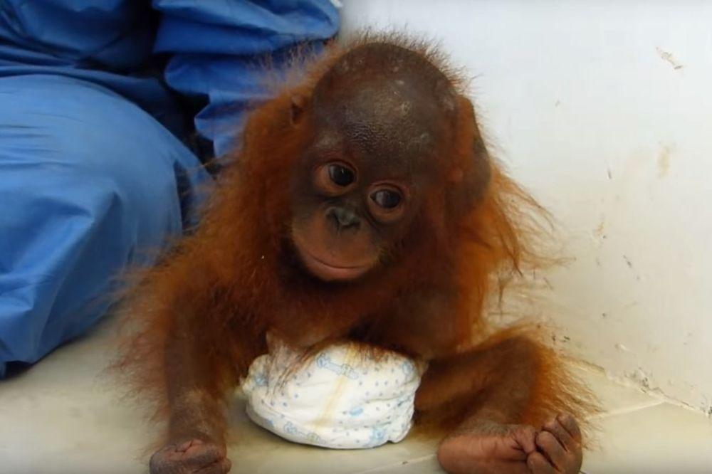 VIDEO KOJI SLAMA SRCE: Mladunče orangutana grli samog sebe jer mu je umrla mama