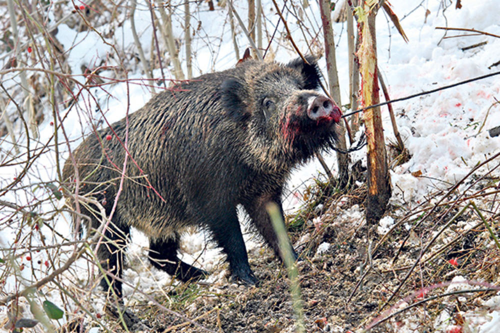 HAOS U ČAJETINI: Lovci pravili kobasice od divljači pa se trihinelom zarazilo 500 ljudi