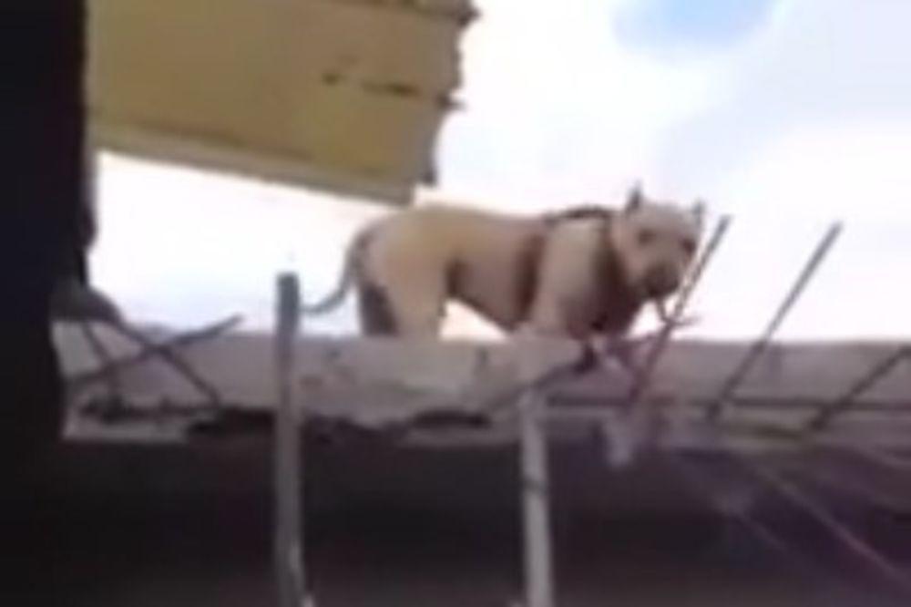 (VIDEO) SNALAŽLJIV PAS: Ovaj ljubimac silazi niz merdevine kao od šale