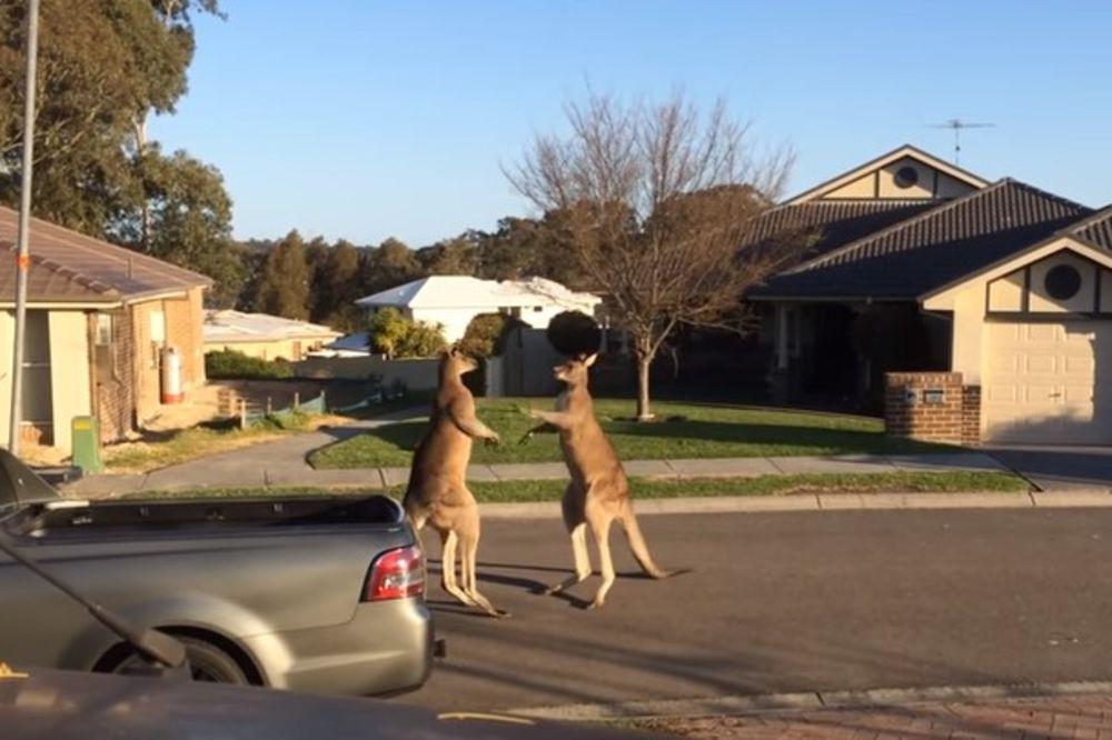 (VIDEO) A U MEĐUVREMENU U AUSTRALIJI: Draga, kenguri se tuku ispred kuće. Jedan sasvim običan dan